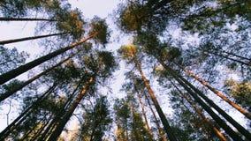 Ansicht über Bäume im Kieferfichtenwald an der Glättung von POV-Schuss stock footage