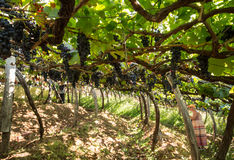 Ansicht über die Weinberge des Madeiras Wine Company, Estreito De Camara de Lobos, Madeira Lizenzfreie Stockfotos