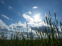 Ansicht über einen blauen Himmel vom Getreidefeld Stockfotos
