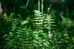 Ansicht über grünen Farn verlässt unter Sonnenlicht im Wald Lizenzfreie Stockbilder