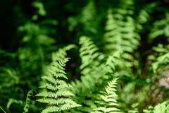 Ansicht über grünen Farn verlässt unter Sonnenlicht im Wald Stockfotos