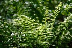 Ansicht über grünen Farn verlässt unter Sonnenlicht im Wald Stockfoto