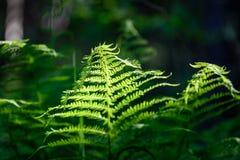 Ansicht über grünen Farn verlässt unter Sonnenlicht im Wald Lizenzfreie Stockfotos