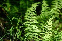 Ansicht über grünen Farn verlässt unter Sonnenlicht im Wald Stockbild