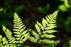 Ansicht über grünen Farn verlässt unter Sonnenlicht im Wald Lizenzfreies Stockbild