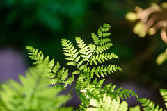 Ansicht über grünen Farn verlässt unter Sonnenlicht im Wald Stockfotografie