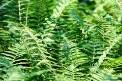 Ansicht über grünen Farn verlässt unter Sonnenlicht im Wald Lizenzfreie Stockfotografie