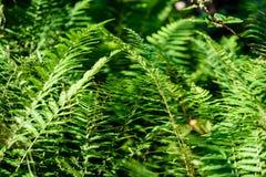 Ansicht über grünen Farn verlässt unter Sonnenlicht im Wald Stockbilder