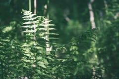Ansicht über grünen Farn verlässt unter Sonnenlicht im Wald - Vintag Lizenzfreies Stockfoto