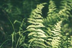 Ansicht über grünen Farn verlässt unter Sonnenlicht im Wald - Vintag Stockbild