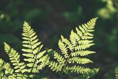 Ansicht über grünen Farn verlässt unter Sonnenlicht im Wald - Vintag Lizenzfreies Stockbild