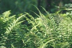 Ansicht über grünen Farn verlässt unter Sonnenlicht im Wald - Vintag Stockfoto