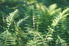 Ansicht über grünen Farn verlässt unter Sonnenlicht im Wald - Vintag Stockfotografie