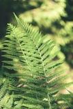 Ansicht über grünen Farn verlässt unter Sonnenlicht im Wald - Vintag Lizenzfreie Stockfotografie