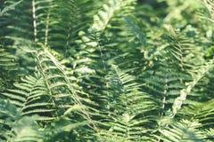 Ansicht über grünen Farn verlässt unter Sonnenlicht im Wald - Vintag Lizenzfreie Stockfotos