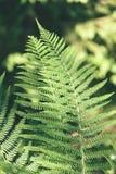 Ansicht über grünen Farn verlässt unter Sonnenlicht im Wald - Vintag Stockbilder