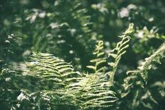 Ansicht über grünen Farn verlässt unter Sonnenlicht im Wald - Vintag Lizenzfreie Stockbilder