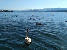 Ansicht über See Zürich mit Schwänen lizenzfreies stockbild