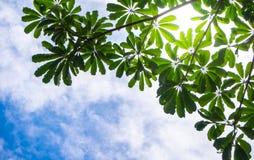 Ansicht bis zum Himmel unter dem Baum Stockfoto