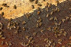Ansicht der Arbeitsbienen auf der Bienenwabe mit süßem Honig Stockbilder