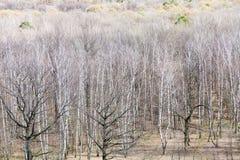Ansicht der bloßen Birke und der Eichen im Frühjahr Lizenzfreie Stockbilder