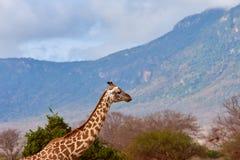 Ansicht der Giraffe in Nationalpark Tsavo in Kenia, Afrika Blauer Himmel mit Wolken und Berg stockfotos