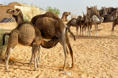 Ansicht der Kamel-Mutter mit ihrem Kalb und anderen Kamelen in Sahara Desert, Tunesien lizenzfreie stockbilder
