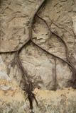 Ansicht der Kolonialstuckwand in Asien mit großem Kriechpflanzenrebbadekurort Lizenzfreie Stockfotografie