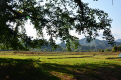 Ansicht der Landschaft des Paddy- oder Reisfeldes in der Morgenzeit Lizenzfreie Stockfotografie