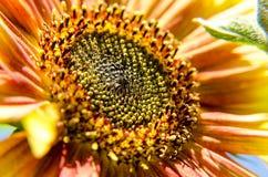 Ansicht der orange Sonnenblume schließen oben in einem bunten Garten lizenzfreies stockbild