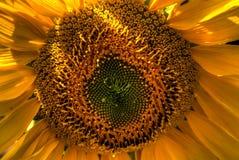 Ansicht der orange Sonnenblume schließen oben in einem bunten Garten stockbilder