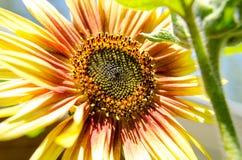 Ansicht der orange Sonnenblume schließen oben in einem bunten Garten stockfoto