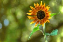 Ansicht der orange Sonnenblume wachsend in einem grünen Garten stockfoto
