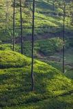 Ansicht der Plantagen des grünen Tees bei Sonnenaufgang, Sri Lanka, Asien Stockfotos