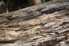 Ansicht der schwarzen Ameise auf braunem hölzernem Stamm Lizenzfreie Stockbilder