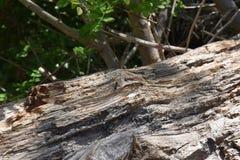Ansicht der schwarzen Ameise auf braunem hölzernem Stamm Stockfotografie