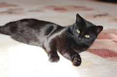 Ansicht der schwarzen Katze Makro Grünes Auge Stockbild