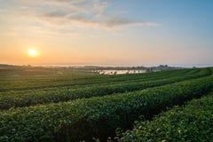 Ansicht der Teeplantage morgens in Chiang Rai, Thailand stockbilder