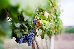 Ansicht der Weinbergreihe mit Bündeln der reifen roten Weinreben Repub lizenzfreie stockfotos
