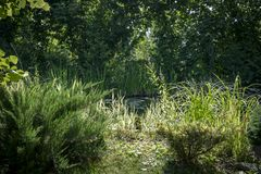 Ansicht des alten Teichs mit blühenden Seerosen durch die Niederlassungen von Evergreens Sonniger Tag des Sommers Die beruhigende lizenzfreie stockfotos