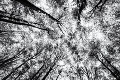 Ansicht des Baums krönt im Frühjahr den Wald, farblos Stockfotografie