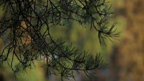 Ansicht des Baums mit gelbem Blatt am Herbsttag Ruhig, wellenartig bewegend vom Wind kiefer stock video
