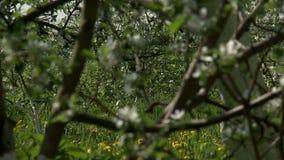 Ansicht des blühenden Apfelbaums, Nahaufnahme stock footage