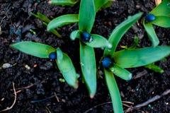 Ansicht des blühenden Frühlinges der Magie blüht den Krokus, der in den wild lebenden Tieren wächst Blauer magentaroter Krokus, d Lizenzfreie Stockbilder