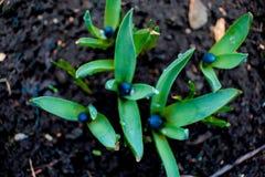 Ansicht des blühenden Frühlinges der Magie blüht den Krokus, der in den wild lebenden Tieren wächst Blauer magentaroter Krokus, d Lizenzfreie Stockfotografie