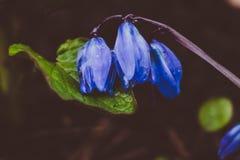 Ansicht des blühenden Frühlinges der Magie blüht den Krokus, der in den wild lebenden Tieren wächst Blauer magentaroter Krokus, d Stockfoto