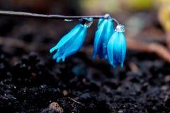 Ansicht des blühenden Frühlinges der Magie blüht den Krokus, der in den wild lebenden Tieren wächst Blauer magentaroter Krokus, d Lizenzfreies Stockfoto