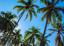 Ansicht des blauen Himmels mit CocoPalmen Romantisches Bild von Palmeblättern Stockbilder