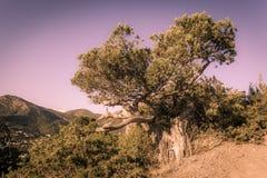 Ansicht des gekrümmten Baums auf hohem Felsen über Schlucht, Wald und Berg Stockfoto