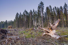 Ansicht des gekrümmten Baumstumpfes unter gefällten Bäumen und Niederlassungen Lizenzfreie Stockfotos